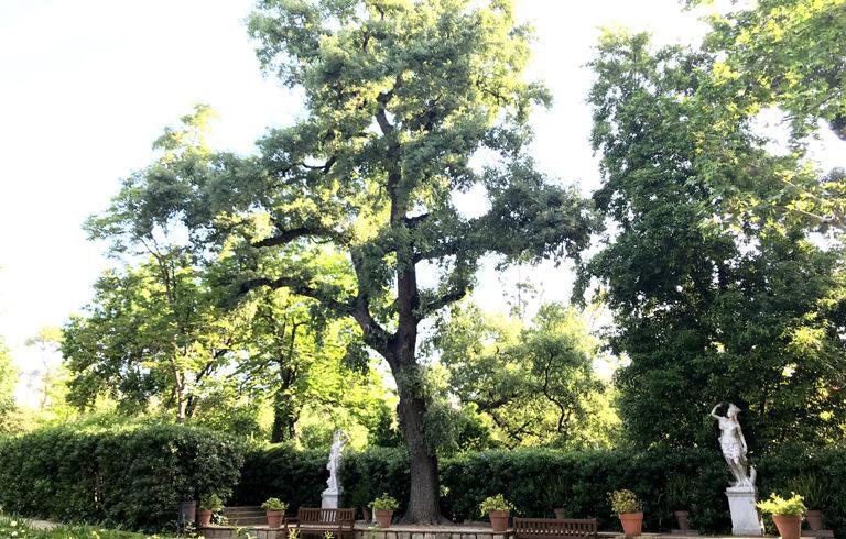 """""""roure martinenc"""", quercus pubescens, centenario"""